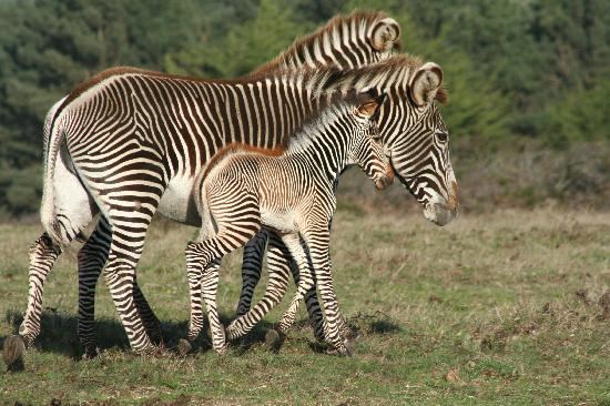 Newborn Zebra at B Bryan Preserve