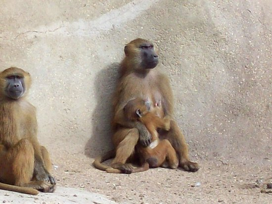 Parc zoologique de Paris : there were lots of baby babboons around