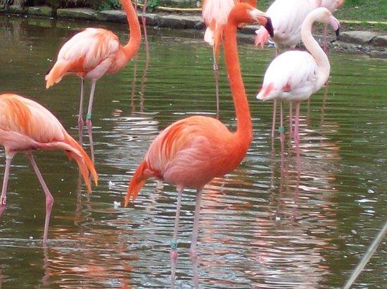 Parc zoologique de Paris : flamingo