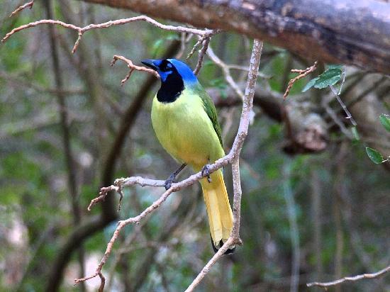 Sabal Palm Sanctuary: Green Jay