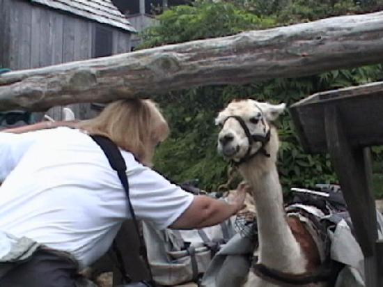 LeConte Lodge: appalachian annie tries to talk the llamas in to taking her pack down boulevard trail