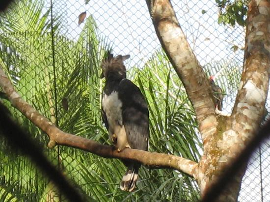 Summit Botanical Gardens: Harpy eagle