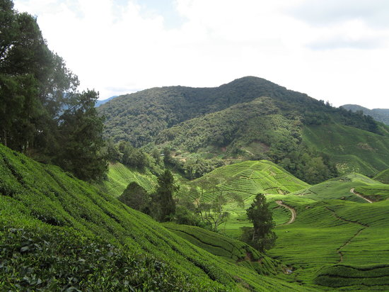 Cameron Highlands, Malásia: Cameron's : Scenic view of the Sungai Palas Tea Plantation