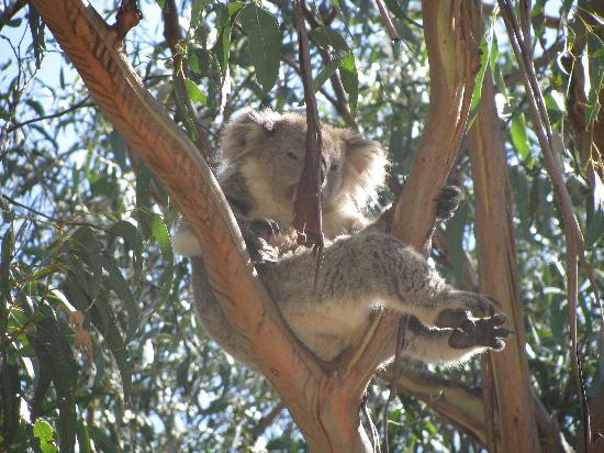 Summerlands, Australia: boarwalk koala