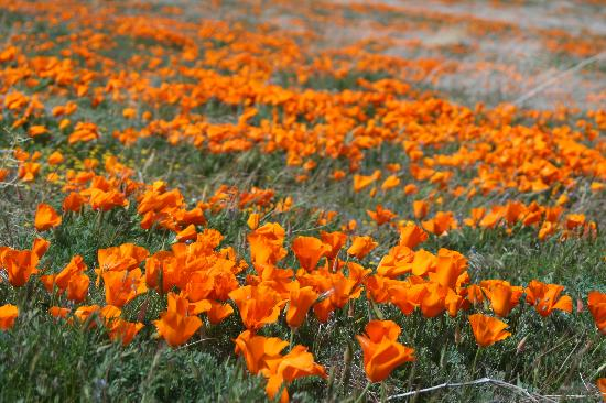 Lancaster, Californie : California poppies