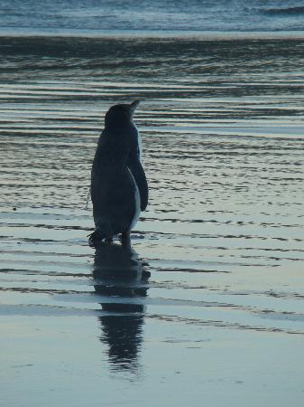 Dunedin, Nouvelle-Zélande : Our Yellow Eyed Penguin waiting for Mom