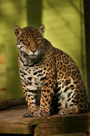 Thurmont, MD: South American Jaguar poses in the sun
