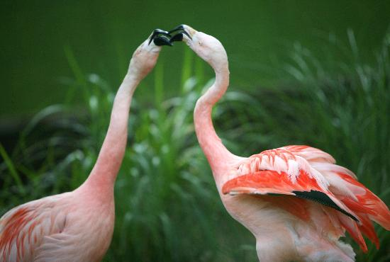Thurmont, MD: Flamingoes sharing a snuggle