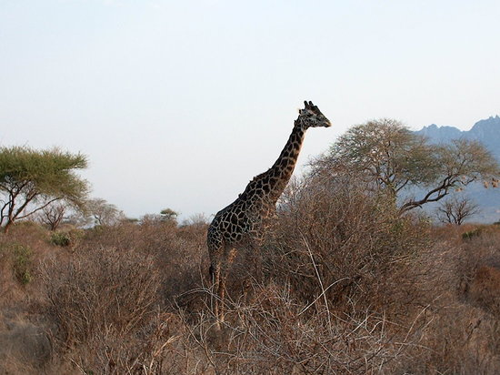 Bamburi Beach Hotel: Giraffe......lots of them