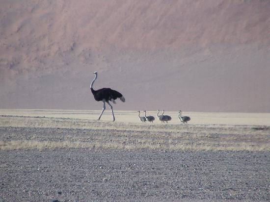 andBeyond Sossusvlei Desert Lodge: Ostrich family