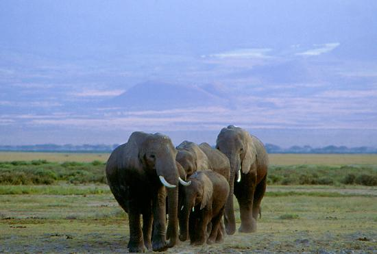 Amboseli Eco-system, Kenya: Elephants and Mt. Kilimanjaro, Amboseli