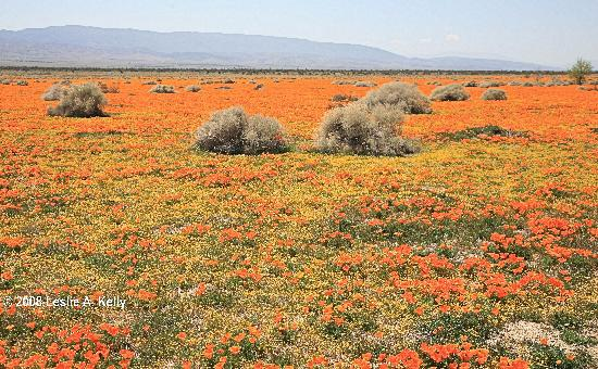 Antelope Valley California Poppy Reserve: Field of California poppies and goldfield near Antelope Valley Poppy Reserve taken 04012008