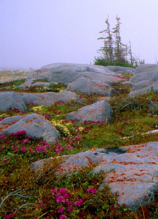 Low-growing carpet of flowers in the short summer outside Churchill