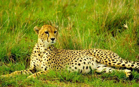 Samburu National Reserve, Kenia: Cheetah, Samburu