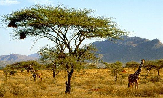 Samburu National Reserve, เคนยา: Giraffes, Samburu