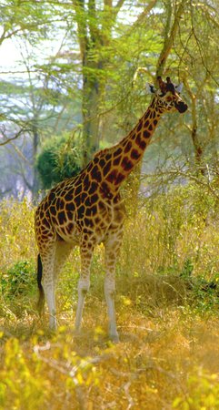 Lake Nakuru National Park, Quénia: Rothschild's Giraffe
