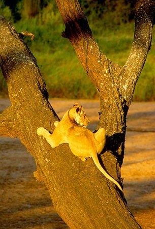 Ecosistema de Amboseli, Kenia: Tree-Climbing Lions