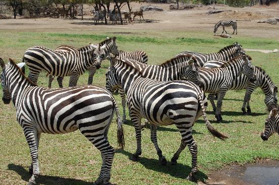 Ponderosa Adventure Park: Zebras!