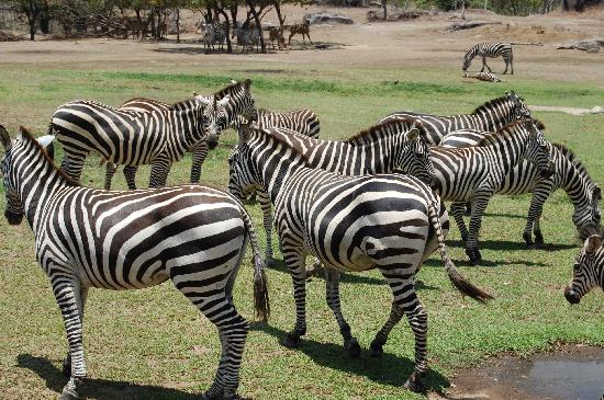 Ponderosa Adventure Park: More Zebras!