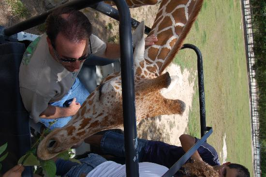 Ponderosa Adventure Park : Giraffe in the Land Rover