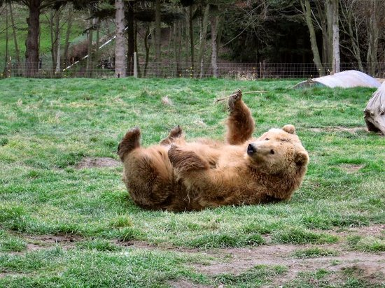 Sequim, Ουάσιγκτον: This bear was tring to be cute for a male bear and was rolling around like a cat