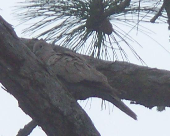Cape San Blas Inn: Dove hiding in the trees around the deck