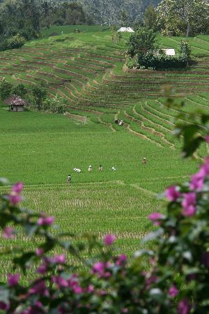 Grand Mirage Resort: Rice field, Northern Tour