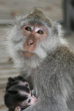 Grand Mirage Resort: Monkeys from Sunset tour