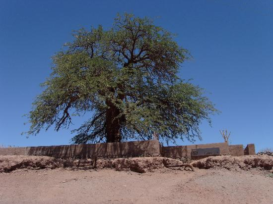 Tierra Atacama Hotel & Spa: Old Tree at Lodge Entrance