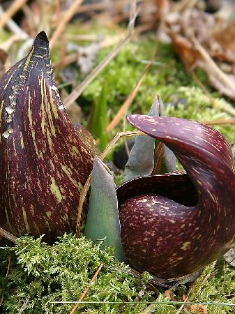 Bartholomew's Cobble: Skunk Cabbage