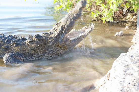 Pelican Reef Villas Resort : Crocodile