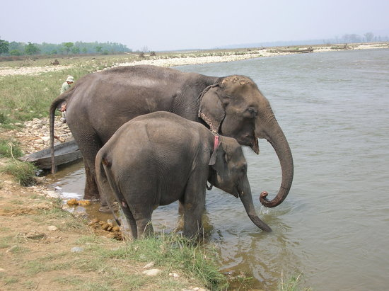 Chitwan nasjonalpark, Nepal: Elephants getting ready for washing