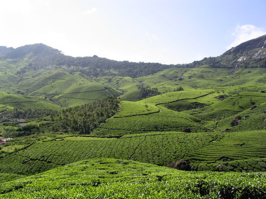 Kerala, India: Munnar - tea plantation