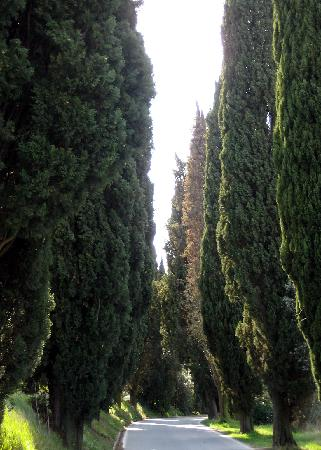 Villa Le Torri: Cypresses - lining the road three minutes stroll from the house