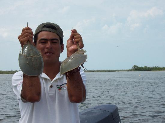 Casa Maya Holbox: Horseshoe crabs - Rio Lagardos