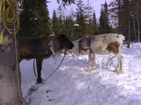 Lapland Hotel Saaga: Some reindeer (from the reindeer safari)