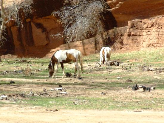 Chinle, AZ: Wild horses in the Canyon