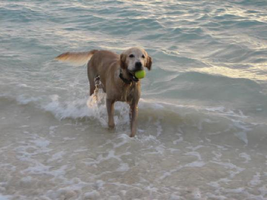Lanikai Beach: Dog playing in the water at sunrise