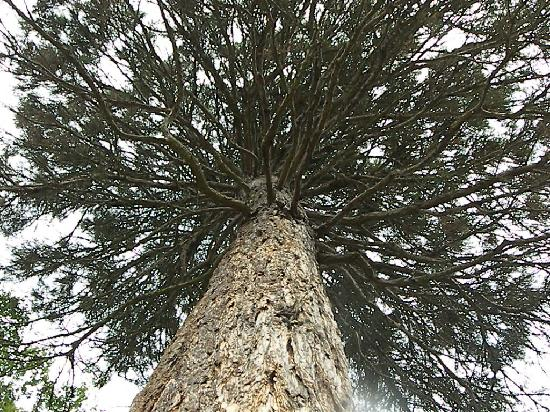 Philadelphie, Pennsylvanie : Sequoia Tree