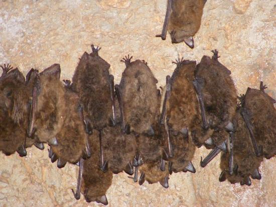 Endless Caverns: cluster of bats