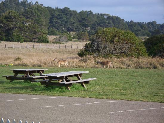 Point Cabrillo Light Station: deer come very close to the B&B buildings