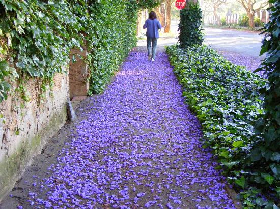 Abigail's B & B: Just Follow the Carpet of Jacaranda Petals!