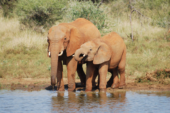 Madikwe Game Reserve, Afrika Selatan: Elephants taking a drink