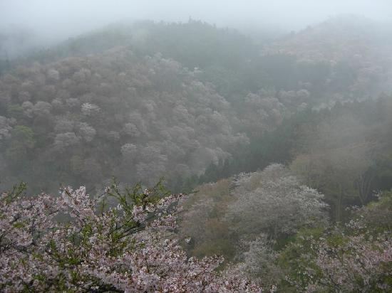 Yoshino-cho, Ιαπωνία: cherry blossoms valley in Yoshino (view from the hotel)