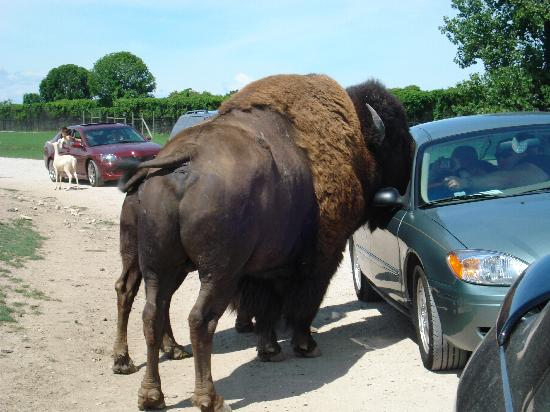 African Safari Wildlife Park: Bison!!!