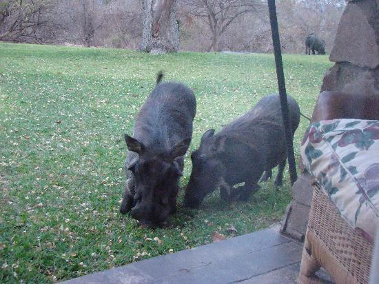 Ilala Lodge: Warthogs outside our room