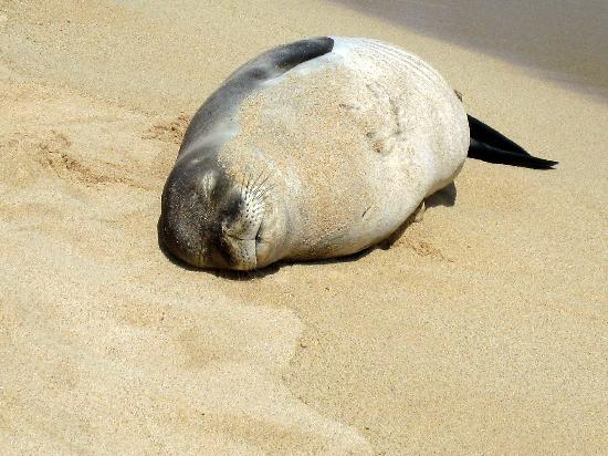 Poipu Beach Park: Poipu Beach-Monk Seal