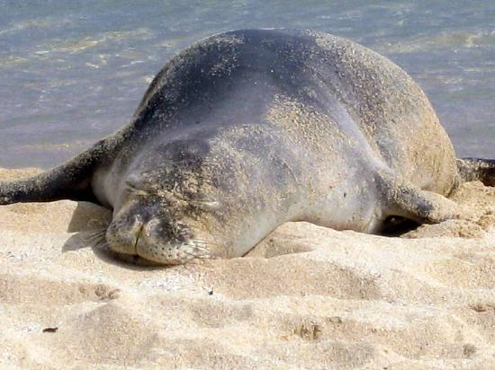 Poipu Beach Park: Poipu Beach-Monk Seal 2(Doesn't he look relaxed!)