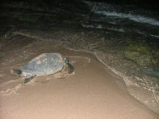 Garden Beach Hotel: Schildkröte 20 Meter neben Hotel