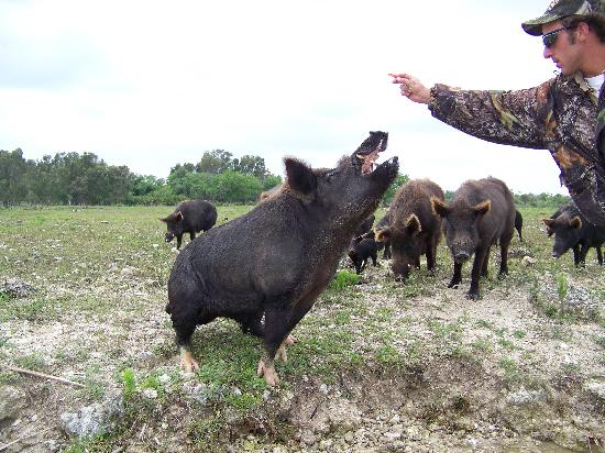 Clewiston, Φλόριντα: Air boat guide feeding gummy candy to wild hog